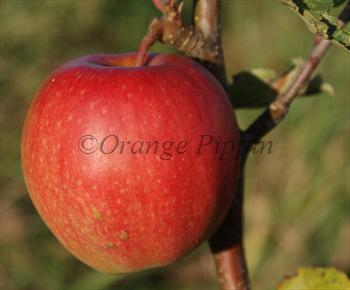 Cripps Pink apple tree