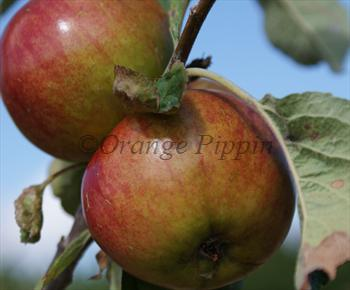 Worcester Pearmain apple tree