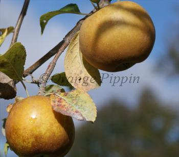 Golden Russet apple tree