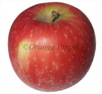 Cripps Red apple tree