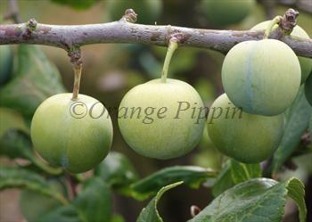 Old Green Gage plum tree