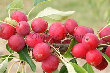 Malus Dolgo Pink Glow crab-apple tree
