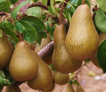 Beurre Bosc pear tree