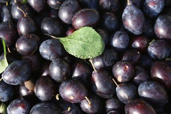 English Damsons
