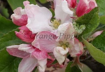 Calville Blanc apple tree blossom