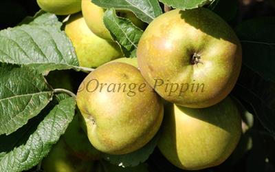 Pine Golden Pippin apples