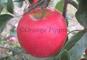 Pixie Crunch apple tree