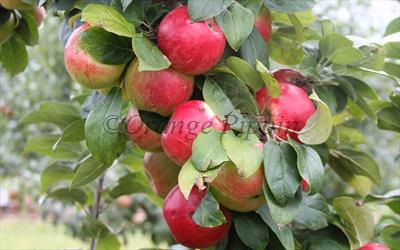 Geneva Tremlett's cider apples