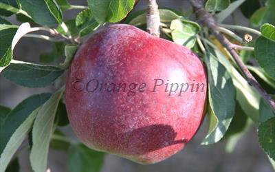William's Pride apple