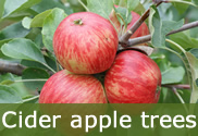 Hard cider trees for sale