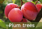 Plum trees for sale